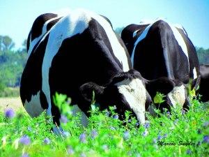 Vaquillona comiendo alfalfa