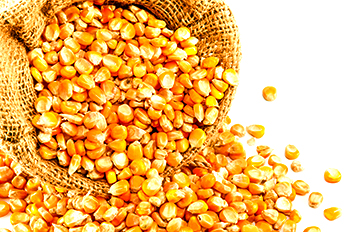 grano de maiz